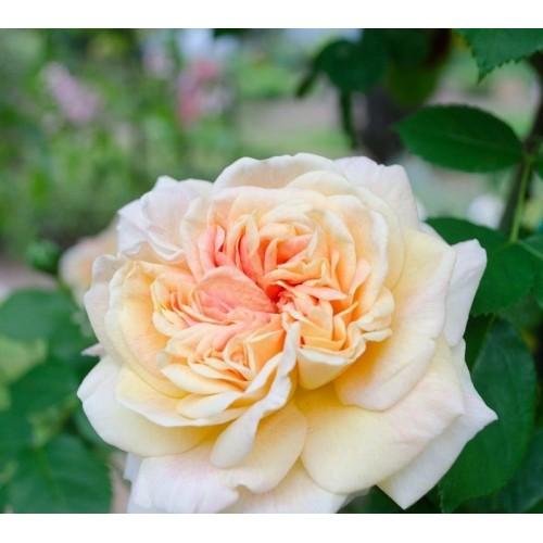 Trandafiri urcatori Alchymist