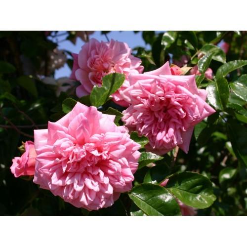 Trandafiri urcatori Francois Juranville