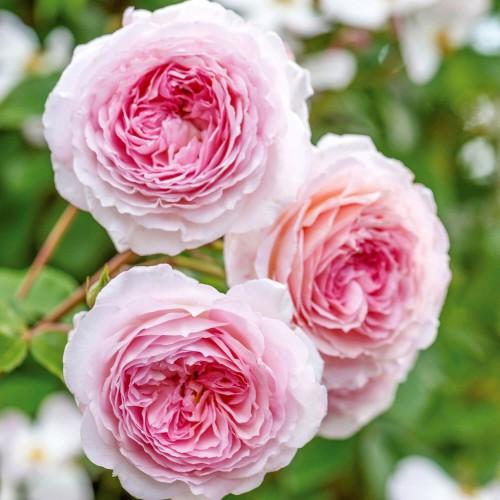 Trandafiri urcatori James Galway