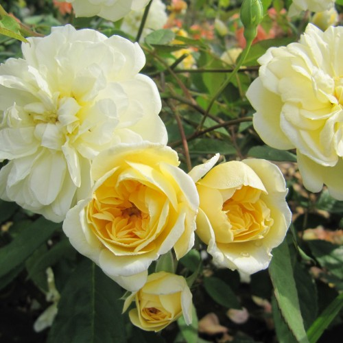 Trandafiri urcatori Malvern Hills